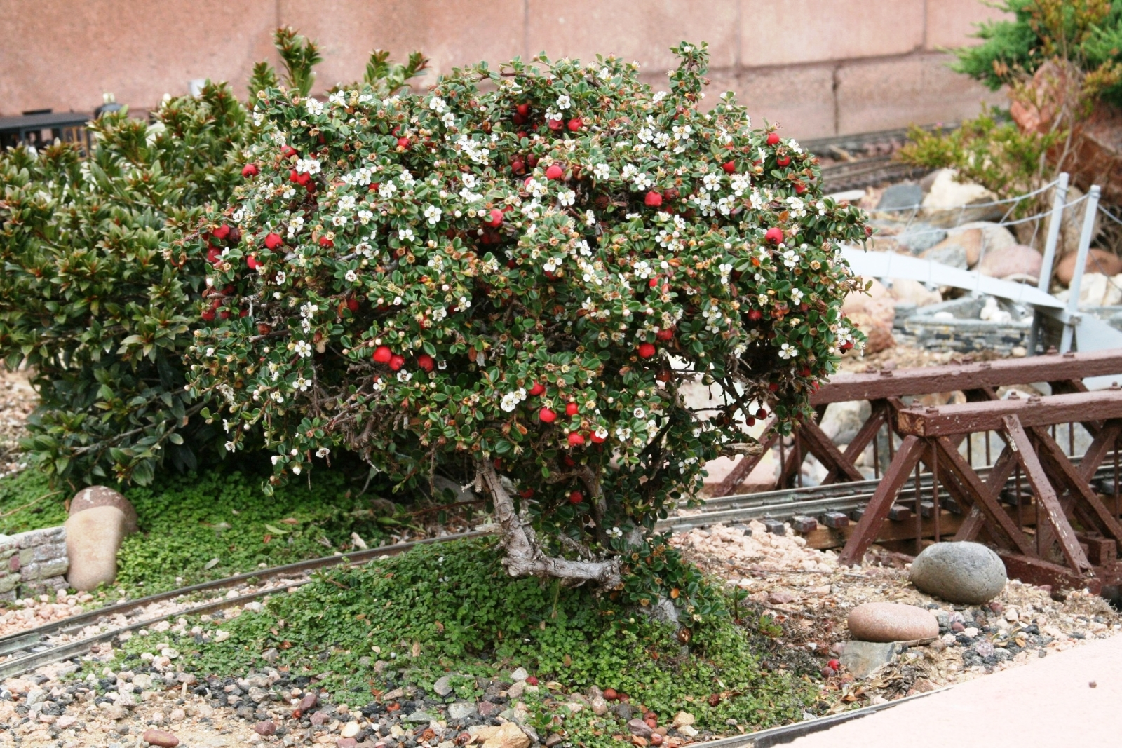 McKinnis A beautiful Cotoneaster is in full bloom!